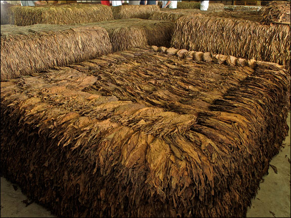 Choice tobacco fermenting in a pilone.