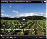 Tobacco field, Dominican Republic