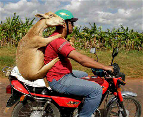Dominican goat on back of scooter.