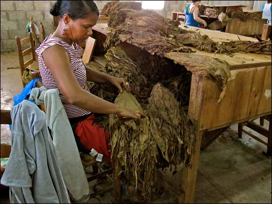 Stems are removed by hand at Tabacalera Palma.