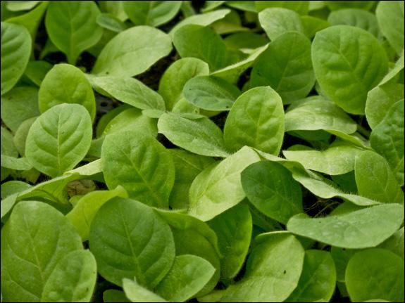 Tobacco seedlings.