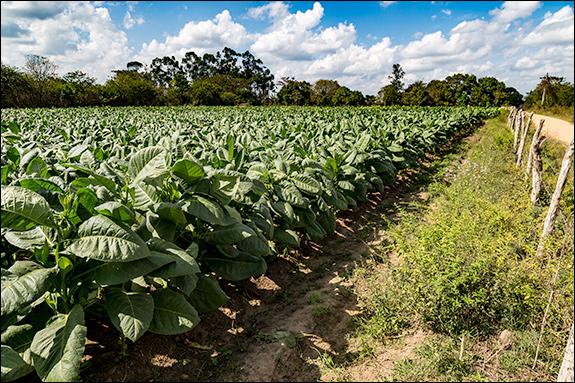 Tobacco field in Pinar Del Rio, Cuba